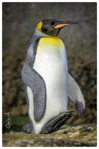 Schlafender Pinguin