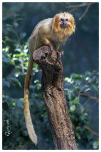 Löwenkopfäffchen