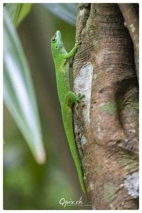 Taggecko am Baum in der Masoalahalle