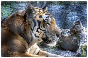 Portrait von Sayan, dem Amurtiger im Zoo Zürich